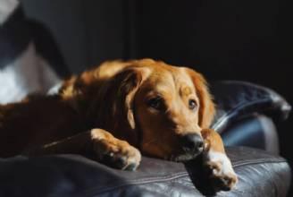 Inverno e quarentena: condição perfeita para a  osteoartrite em cães