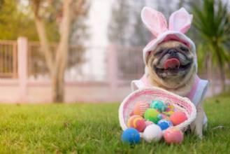Cachorro pode comer chocolate?